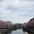 平安神宮-水道兩旁櫻花.JPG