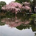 平安神宮-尚美館旁櫻花.JPG