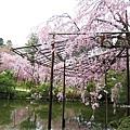平安神宮-東神苑裡的櫻花.JPG
