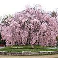 平安神宮-垂枝櫻花樹.JPG