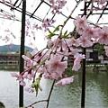 平安神宮-栖鳳池的櫻花.JPG