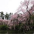 平安神宮-栖鳳池的櫻花林.JPG