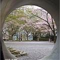 疏水道-管外的櫻花.JPG
