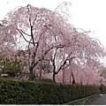 南禪寺-巷道裡櫻花-4.JPG