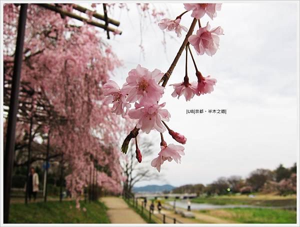 半木之道-鴨川櫻花特寫2.JPG