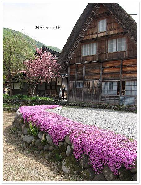 白川鄉合掌村-紫花.JPG