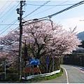 三千院-下車路邊櫻花.JPG