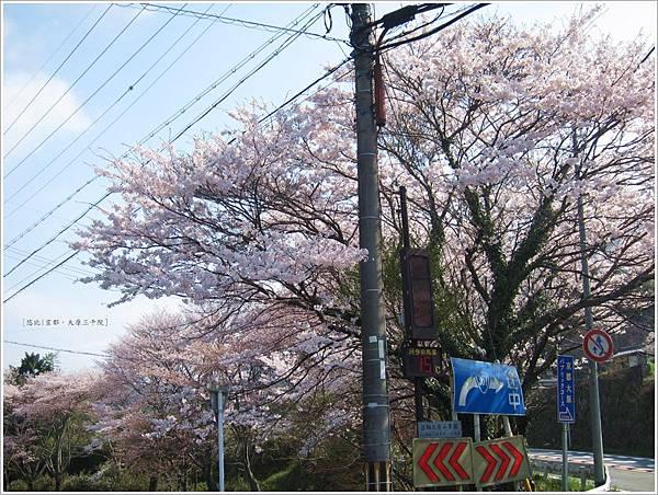三千院-下車路邊櫻花-1.JPG