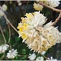 三千院-不知名的花.JPG