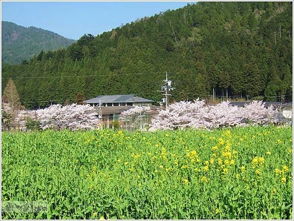 三千院-油菜花與櫻.JPG