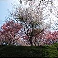 三千院-櫻花林.JPG