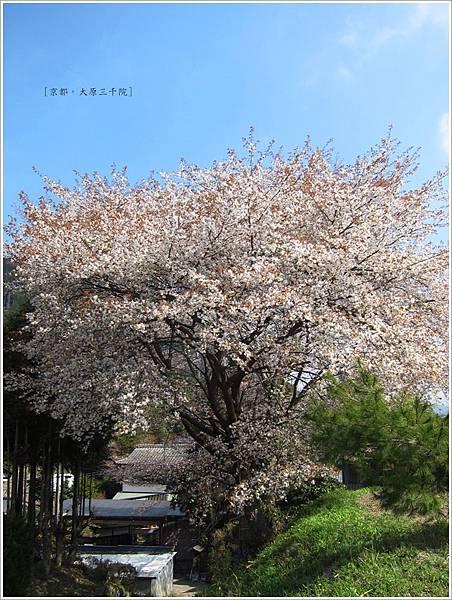 三千院-櫻花樹.JPG