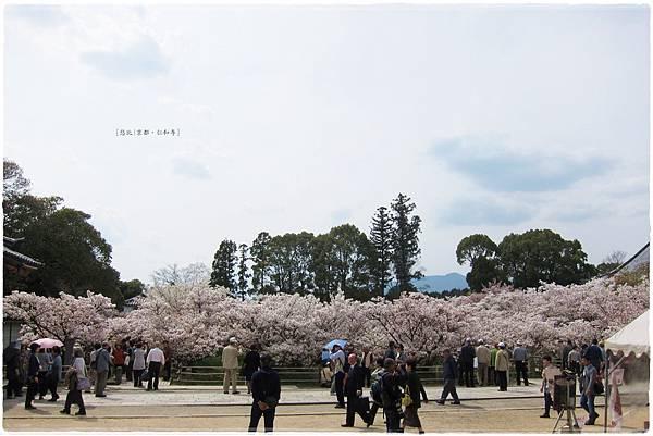 仁和寺-御室櫻-4.JPG