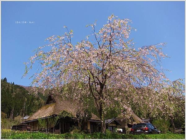美山-櫻花樹下茅萁屋.JPG