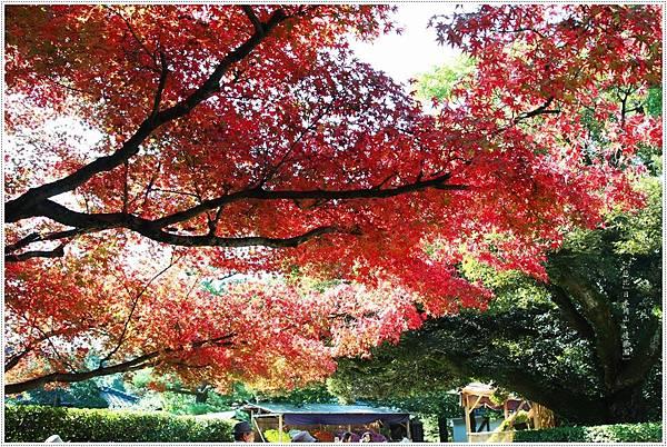 後樂園-楓葉紅.JPG