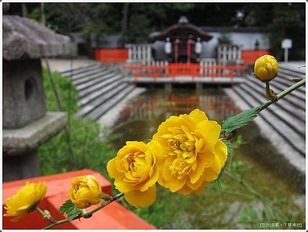 下鴨神社-井上社山吹.JPG