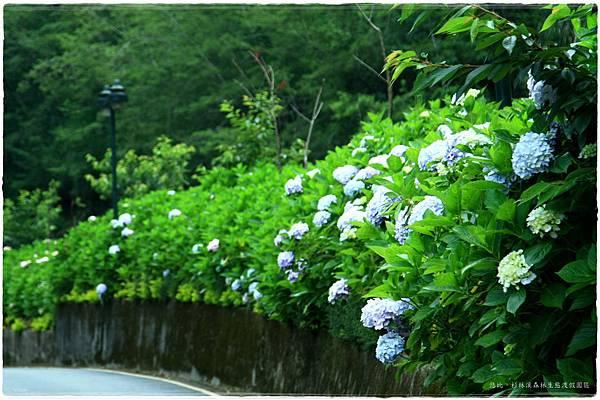 杉林溪-沿路-紫陽花-5.JPG