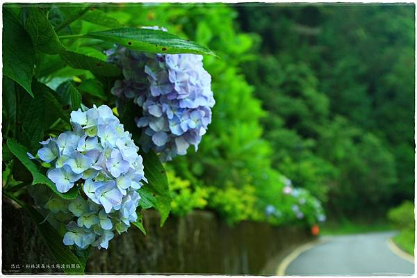 杉林溪-沿路-紫陽花-7.JPG