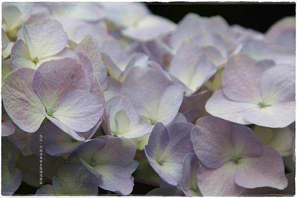 杉林溪-沿路-紫陽花-12.JPG