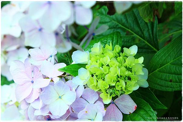 杉林溪-遊客前-紫陽花-8.JPG