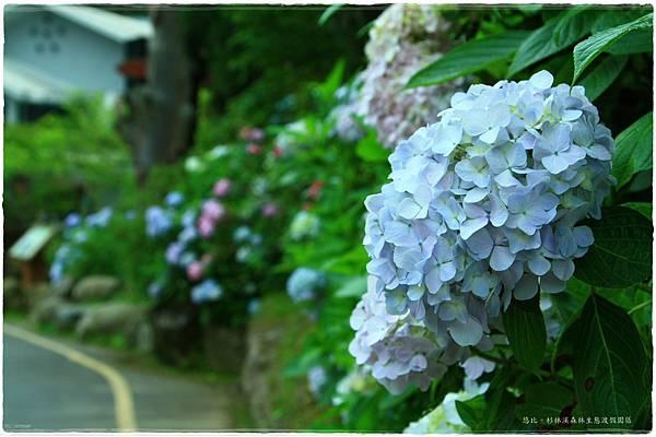 杉林溪-遊客前-紫陽花-9.JPG