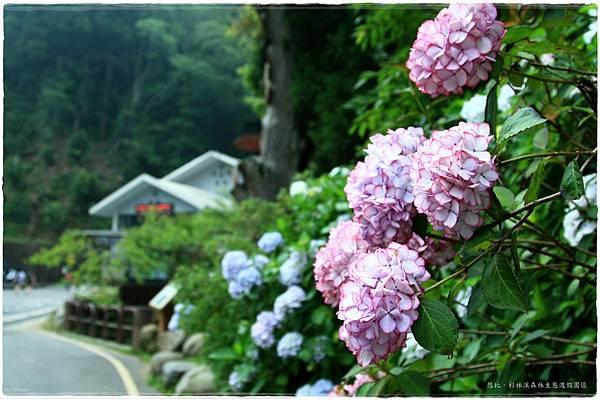 杉林溪-遊客前-紫陽花-10.JPG