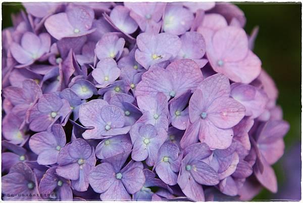 杉林溪-橋邊-紫陽花-4.JPG