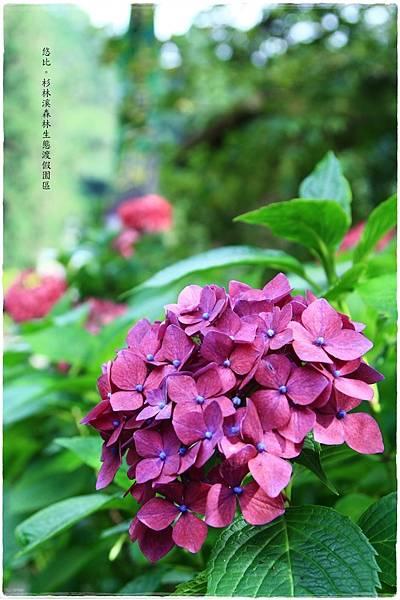 杉林溪-橋邊-紫陽花-5.JPG