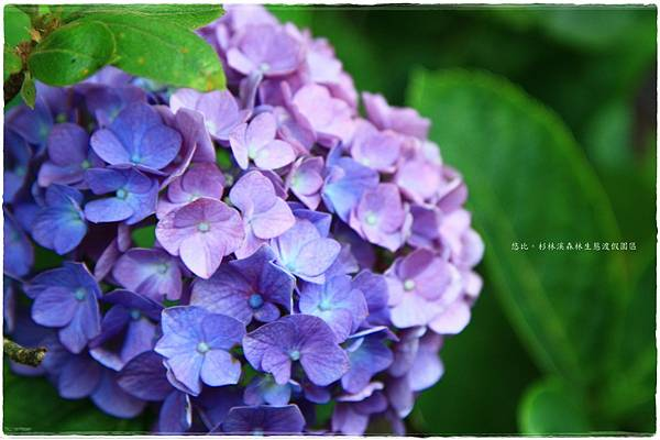 杉林溪-橋邊-紫陽花-6.JPG