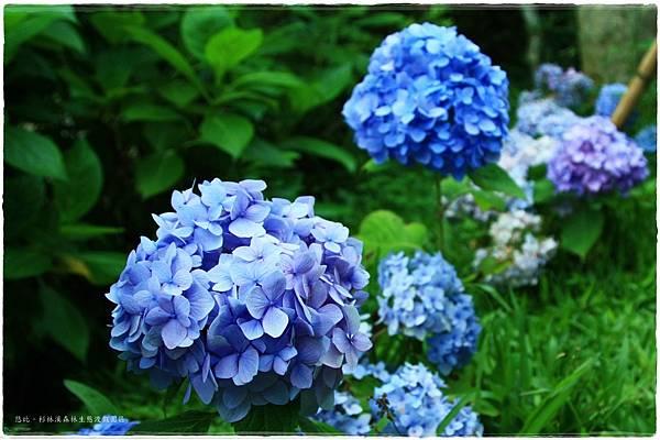 杉林溪-瞭望-紫陽花-1.JPG