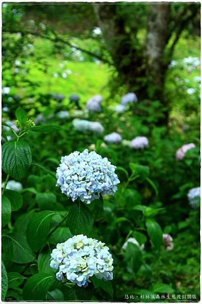 杉林溪-瞭望-紫陽花-4.JPG