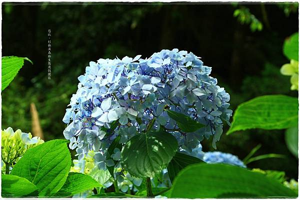 杉林溪-瀑-紫陽花-3.JPG