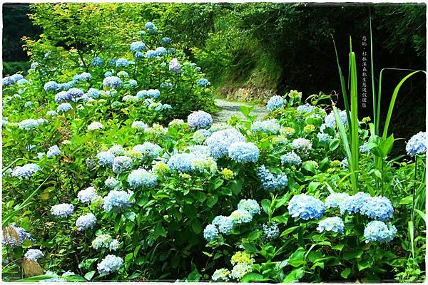 杉林溪-瀑-紫陽花-5.JPG