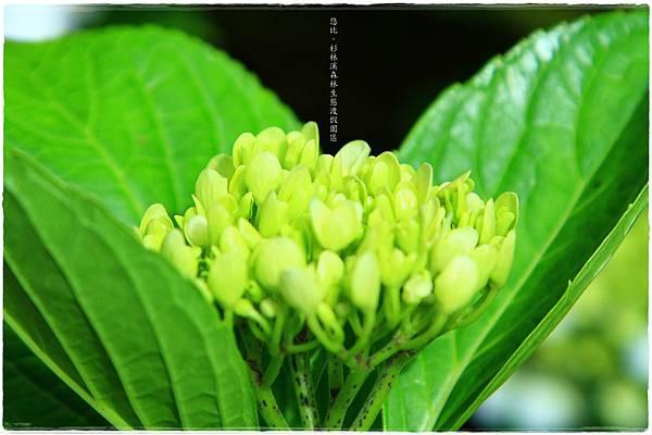 杉林溪-瀑-紫陽花-10.JPG