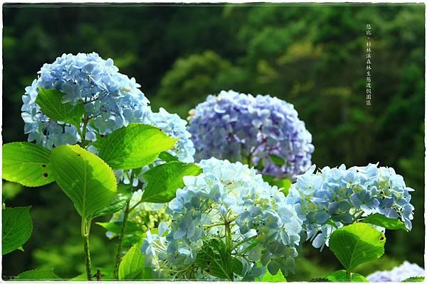 杉林溪-瀑-紫陽花-11.JPG