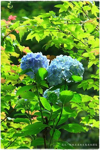 杉林溪-瀑-紫陽花-13.JPG
