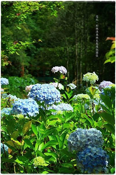 杉林溪-瀑-紫陽花-15.JPG