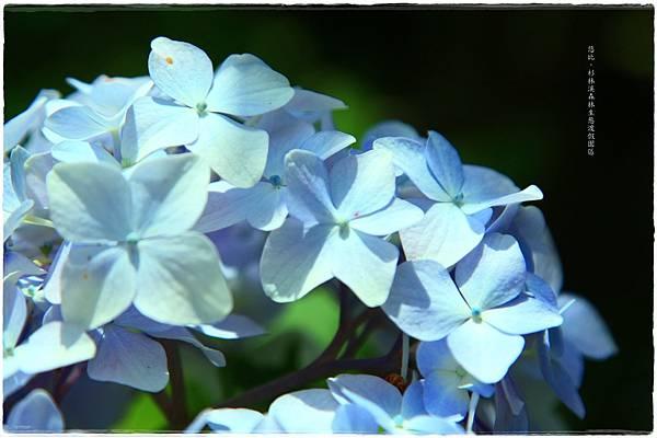 杉林溪-瀑-紫陽花-17.JPG