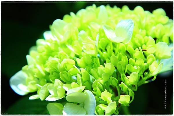 杉林溪-瀑-紫陽花-19.JPG
