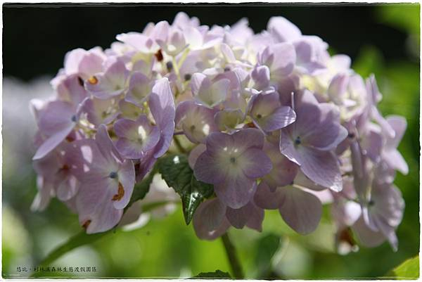 杉林溪-瀑-紫陽花-23.JPG