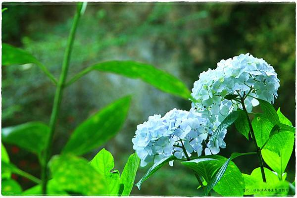 杉林溪-瀑-紫陽花-27.JPG