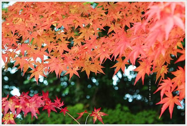 天橋立-紅葉-1.JPG