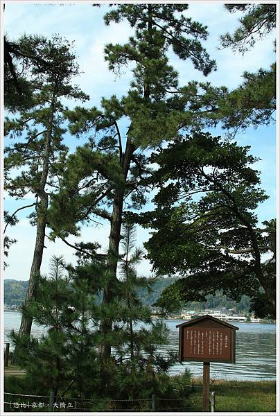 天橋立-散步道-松樹.JPG
