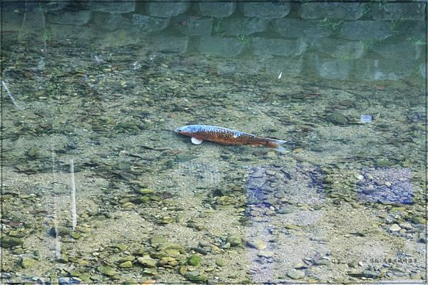 城崎溫泉-清澈小魚.jpg