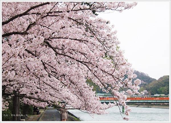 宇治-川邊櫻花-1.JPG