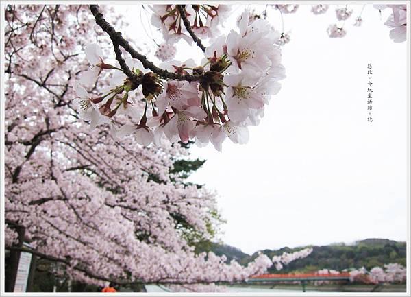 宇治-宇治-川邊櫻花-2.JPG