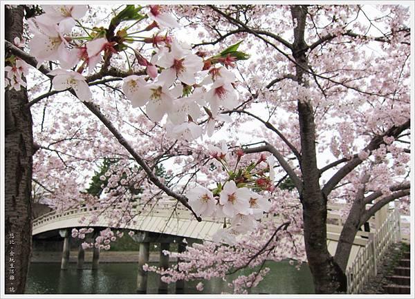 宇治-橘橋邊櫻花-1.JPG