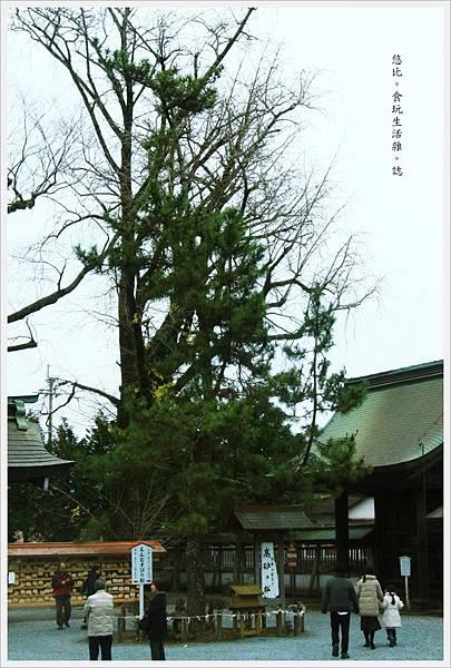 阿蘇神社-結緣之松-1