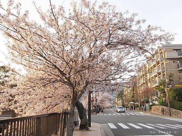 蘆屋-蘆屋川旁櫻花-1.JPG