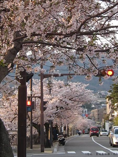 蘆屋-蘆屋川旁櫻花-2.JPG